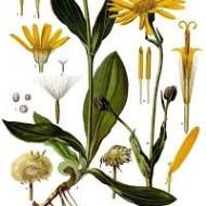 arnica botanical print